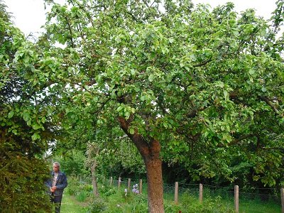 яблоня у нас в саду