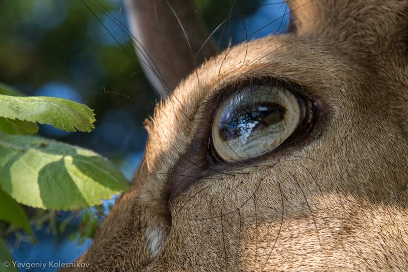 Глаз оленя