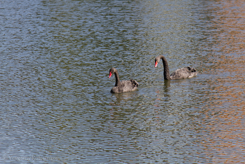 Пернатые на озере в городе Detmold