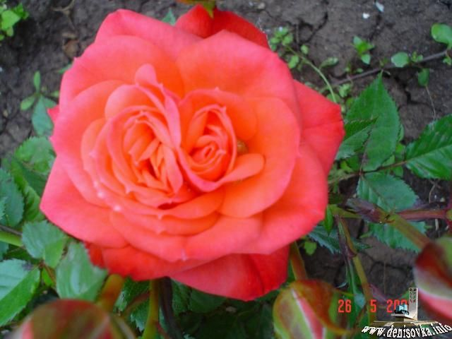 Роза у нас на даче.